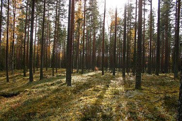 Wald in Finnland